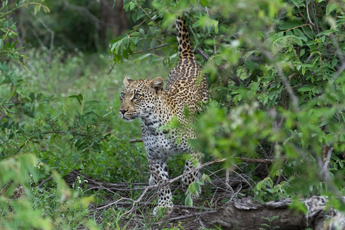 leopard-posed