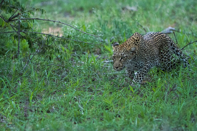 leopard-poised