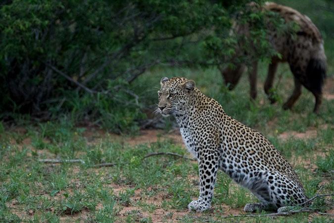 leopard-sitting