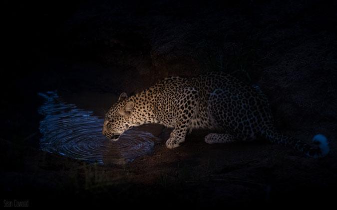 leopard-drinking