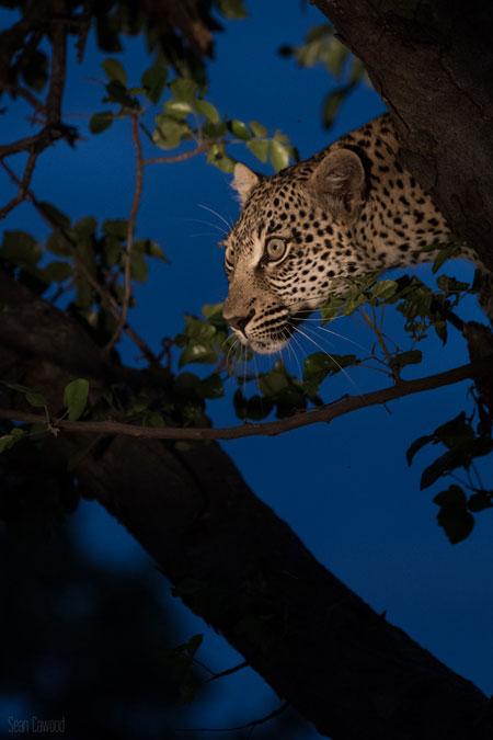 leopard-in-tree-dusk