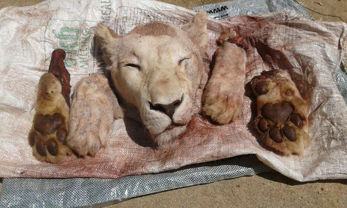 Lion poaching in africa