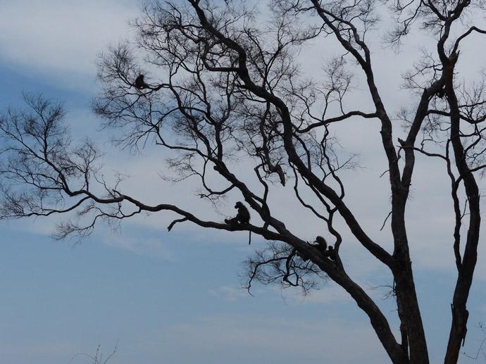 Selinda-baboons