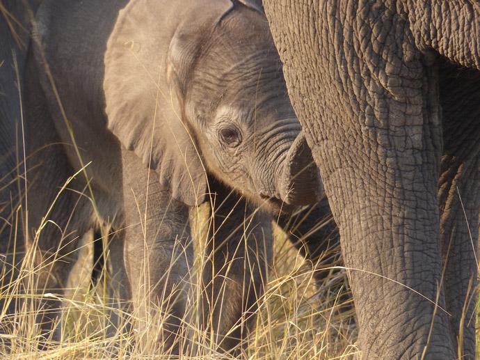 Selinda-newborn-elephant