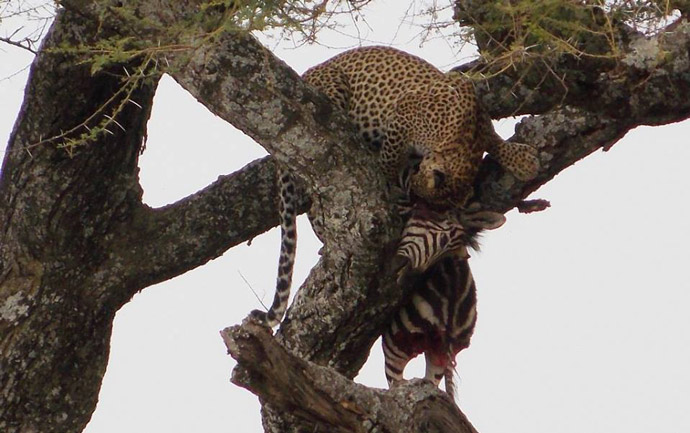Serengeti-Leopard-Kill