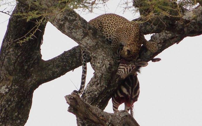 Serengeti-Leopard-Kill