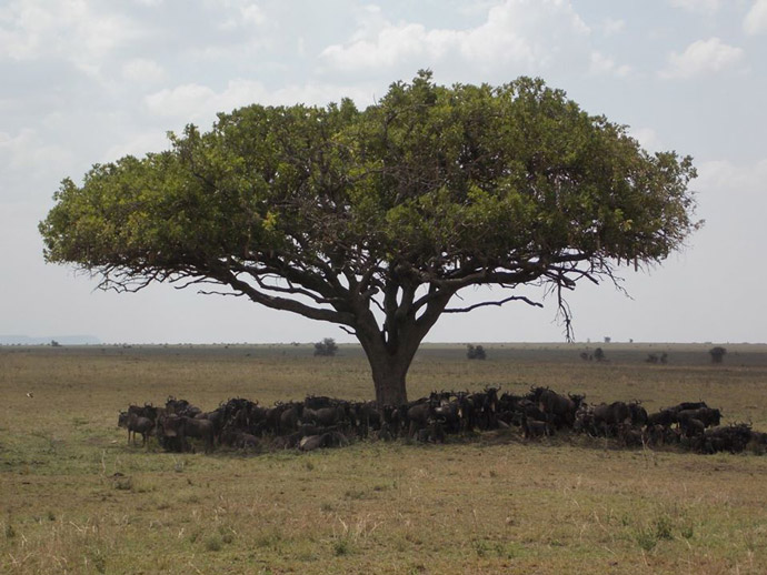 Serengeti-Wilderbeest