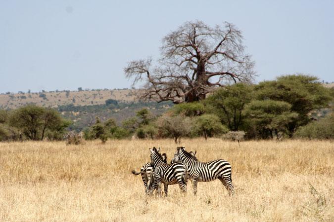 tarangire-zebra