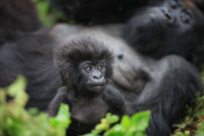Most Interesting Facts >> Masking up for gorillas - Africa Geographic