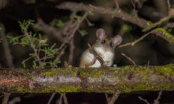 acacia-rat