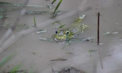 african-bullfrog