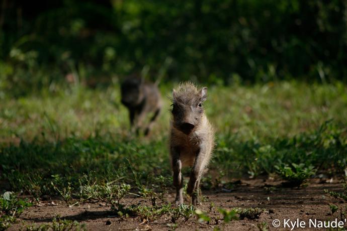 baby-warthog-running
