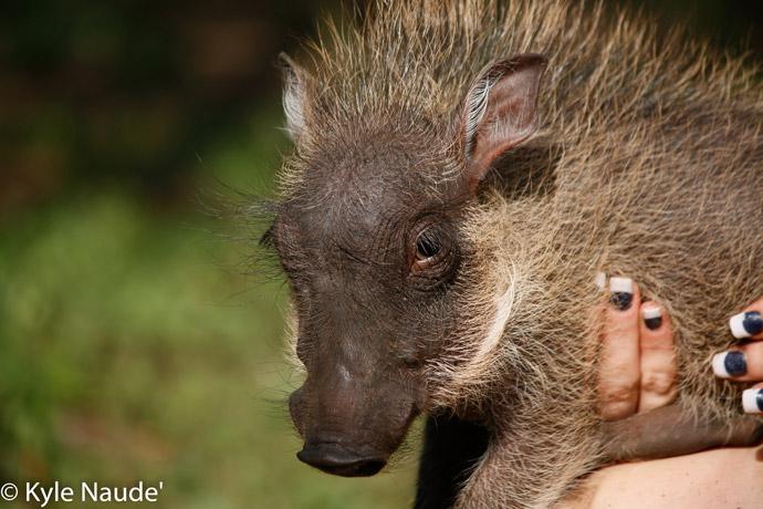baby-warthogs