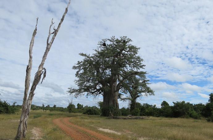 big-baobab-tree