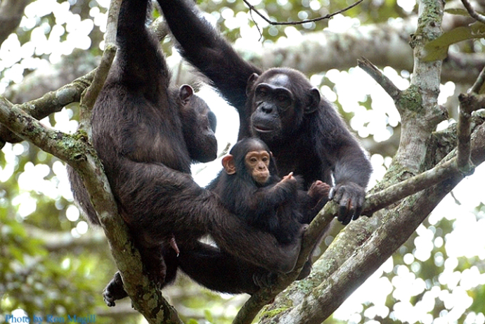 chimpanzee-family