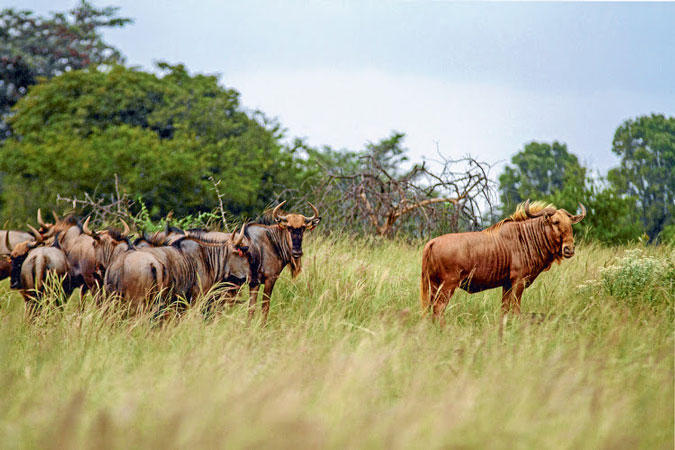 golden-wildebeest
