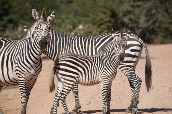 crawshays-zebra