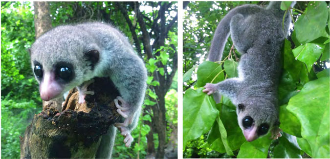 dwarf lemur new species Madagascar