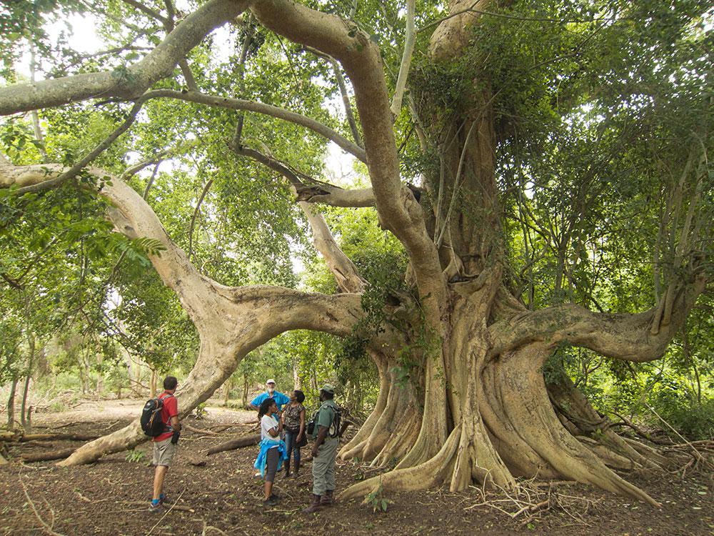 fig-forest-walk-alison-westwood