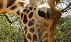 giraffe-lick