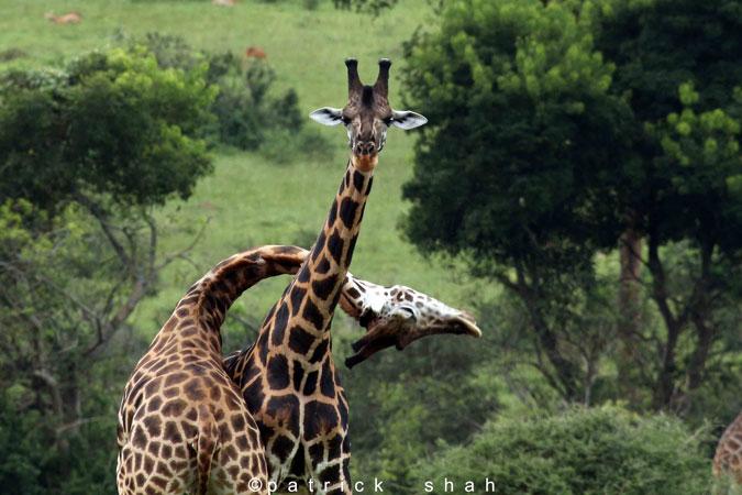 giraffe-love
