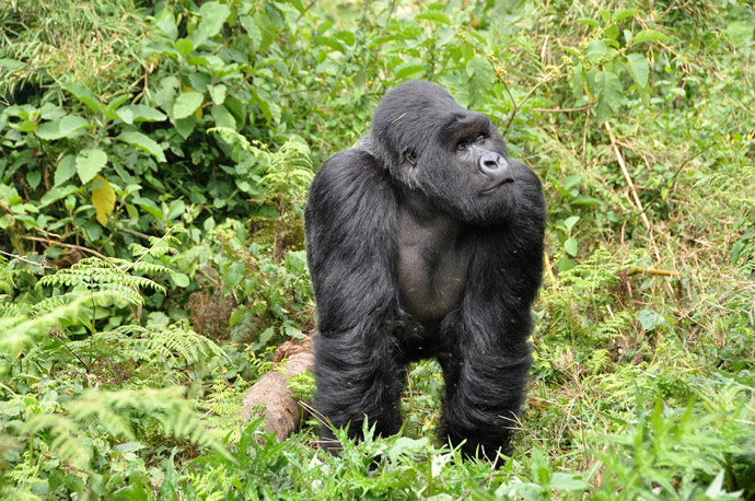 gorilla-trekking-at-Volcanoes