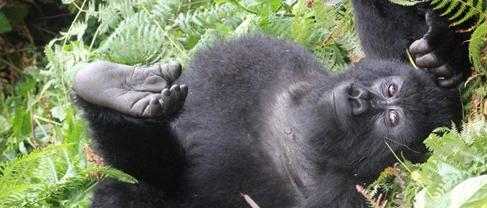 gorilla-trekking