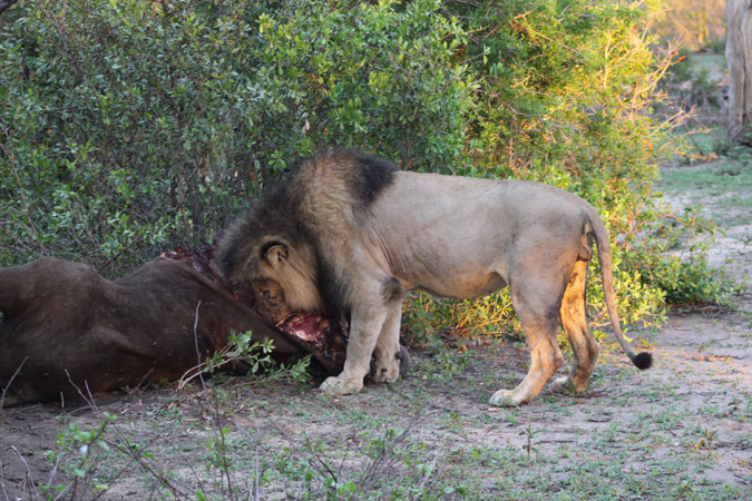lion-eating-buffalo