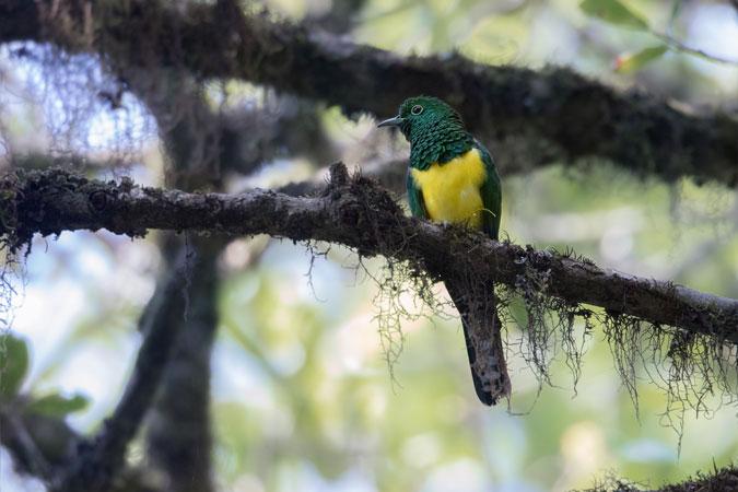 african emerald cuckoo