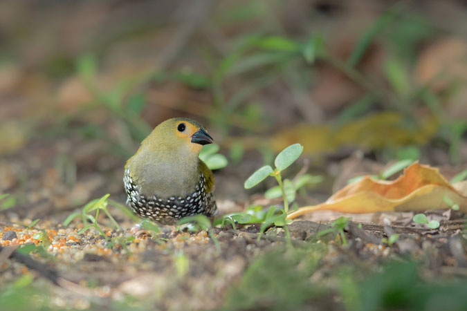 green twinspot bird