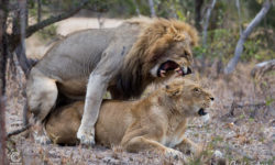 mating-lions