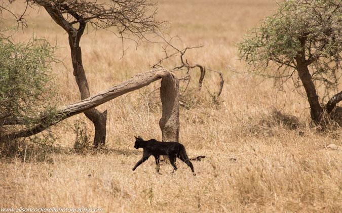 melanistic serval cat