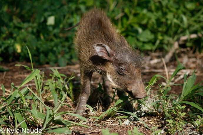 orphaned-baby-warthog