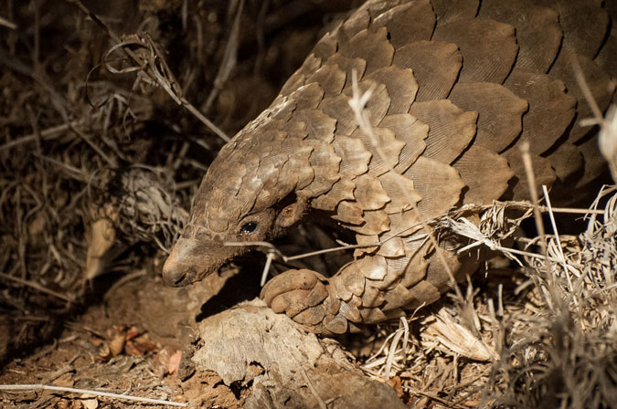 pangolin meat