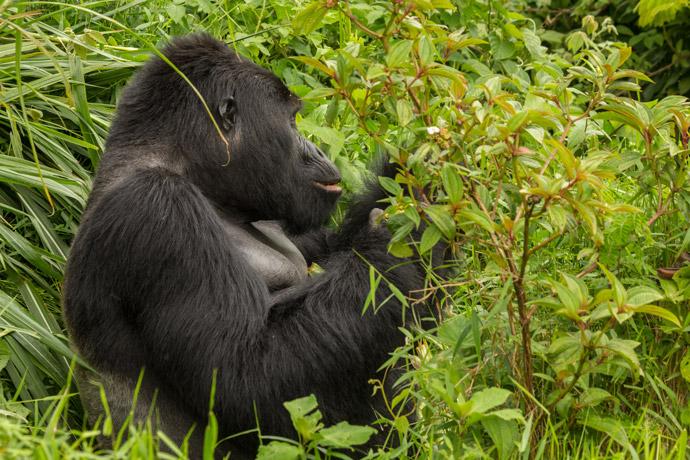 trekking-gorillas
