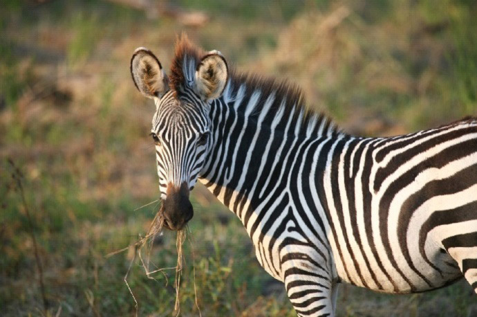 why do zebras have stripes africa geographic