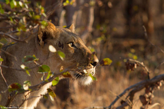Amazing Facts About Lions Africa Geographic - 8 cool facts about madagascar