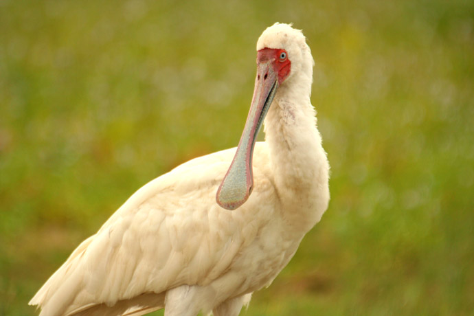 African-spoonbill