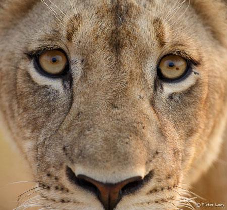 lion-stare