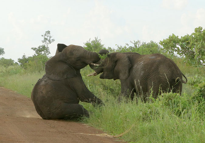 When elephants fight, it is the grass that suffers most