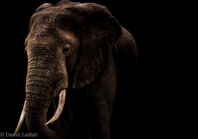 Elephant-Tanzania-David-Liebst