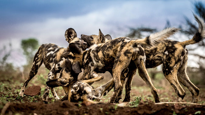 wild-dogs-playing