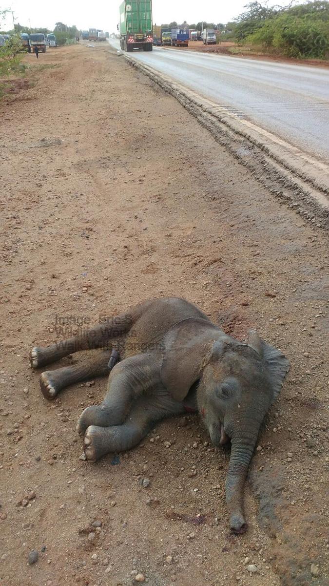 baby elephant roadkill