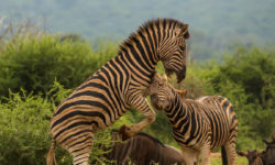 zebra fighting