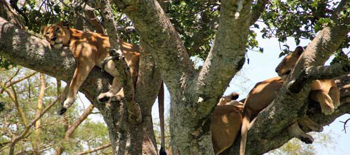 Lions-tree
