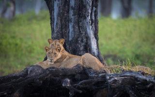 Lions_ebony-tree