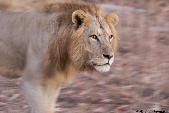 Ruaha-Lion