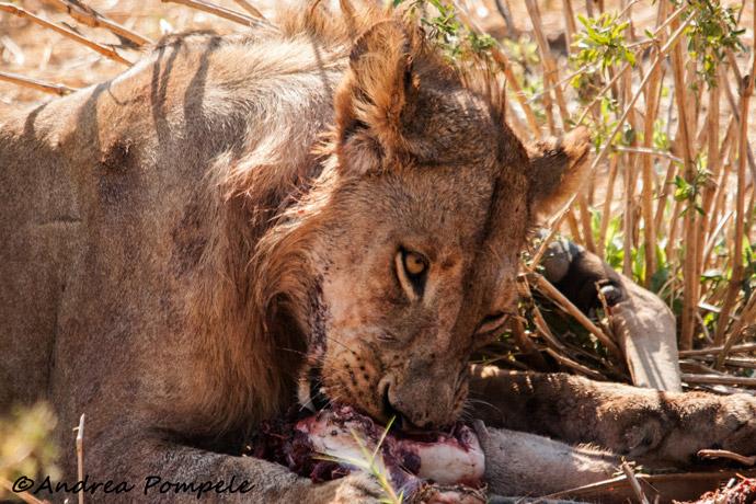 Ruaha-Lions