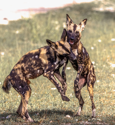 Selous-Wild-Dogs