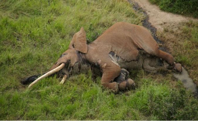 poached-elephant